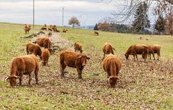 Bestiame di Salers che pasce Fotografia Stock Libera da Diritti