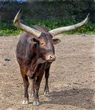 Bestiame di Watusi Fotografie Stock