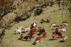 Bestiame di Watussi Fotografia Stock Libera da Diritti