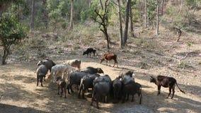 Bestiame domestico stock footage