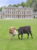 Bestiame e casa di proprietà terriera (1) fotografia stock libera da diritti