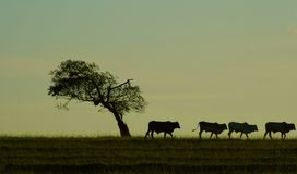 Bestiame ed albero Immagini Stock