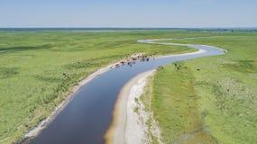 Bestiame in Florida Fotografie Stock