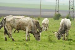 Bestiame grigio bulgaro Fotografie Stock Libere da Diritti
