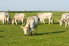 Bestiame grigio ungherese Fotografie Stock Libere da Diritti