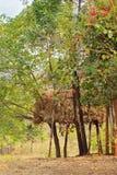 Bestiame indiano che eleva mucchio di fieno sui trampoli Fotografie Stock