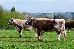 Bestiame inglese della mucca texana Immagine Stock Libera da Diritti