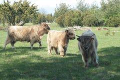 Bestiame lungo dei capelli Fotografia Stock Libera da Diritti