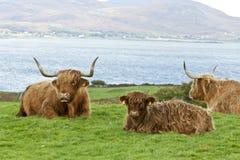 Bestiame madre e vitello dell'altopiano Fotografia Stock