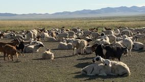 Bestiame in Mongolia stock footage