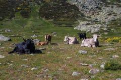 Bestiame in montagne Fotografie Stock