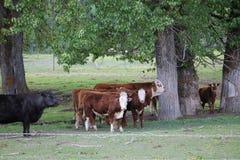 Bestiame negli alberi fotografia stock