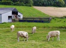 Bestiame nel campo degli agricoltori Fotografie Stock