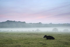 Bestiame nel campo durante l'alba nebbiosa in campagna inglese Immagine Stock