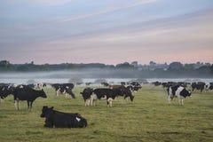 Bestiame nel campo durante l'alba nebbiosa in campagna inglese Fotografie Stock Libere da Diritti