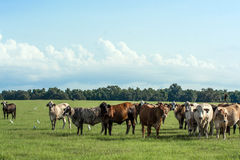 Bestiame nel fondo del pascolo immagini stock