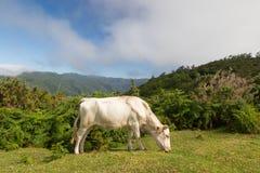 Bestiame nel plateau Paul da Serra, Madera Fotografia Stock