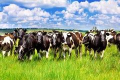 Bestiame nel prato Fotografia Stock
