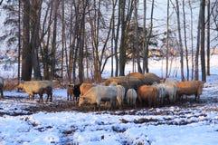 Bestiame nell'inverno fotografie stock