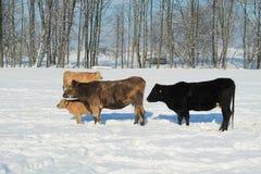 Bestiame nell'inverno fotografia stock libera da diritti