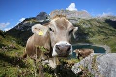 Bestiame nelle alpi della pennina Fotografia Stock