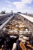 Bestiame nelle penne di vendite immagini stock