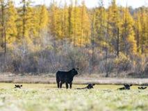 Bestiame nero di Angus in un pascolo in autunno tardo fotografia stock