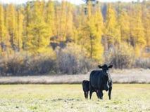 Bestiame nero di Angus in un pascolo in autunno tardo immagine stock libera da diritti