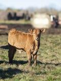 Bestiame nero di Angus in un pascolo in autunno tardo fotografia stock libera da diritti
