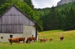 Bestiame in pascolo Fotografie Stock
