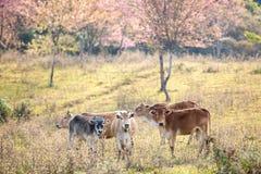 Bestiame in pascolo Immagini Stock Libere da Diritti