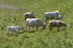 Bestiame in pascolo verde immagini stock