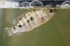 Bestiame - pesce di tilapia di allevamento sul carro armato di pesce Immagini Stock Libere da Diritti