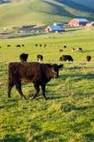 Bestiame in Petaluma Fotografia Stock