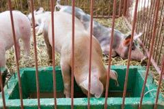 Bestiame - porcellino che mangia e che dorme nell'azienda agricola del porcile Immagini Stock