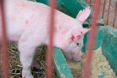 Bestiame - porcellino che mangia l'azienda agricola del porcile dell'alimentazione dentro Immagine Stock