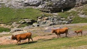 Bestiame in Pyrenees stock footage
