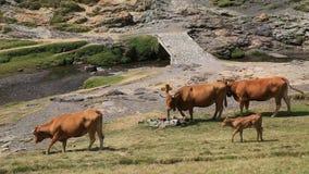 Bestiame in Pyrenees archivi video
