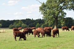 Bestiame rosso che pasce in un campo, Inghilterra Regno Unito Fotografia Stock