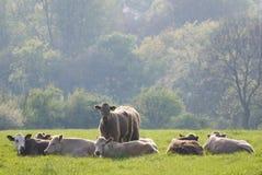 Bestiame sano del bestiame, rurale idilliaco, Regno Unito Fotografie Stock Libere da Diritti