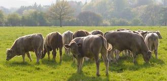 Bestiame sano del bestiame, rurale idilliaco, Regno Unito Immagini Stock