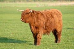 Bestiame scozzese Fotografie Stock