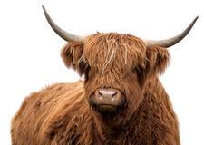 Bestiame scozzese dell'altopiano Immagini Stock