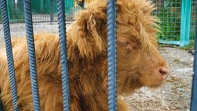 Bestiame scozzese dell'altopiano archivi video