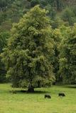 Bestiame scozzese dell'altopiano Fotografia Stock