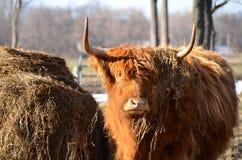 Bestiame scozzese dell'altopiano che mostra vista frontale con il monticello del fieno nell'immagine orizzontale Immagine Stock