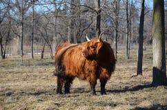 Bestiame scozzese nell'inverno tardo del pascolo Fotografia Stock Libera da Diritti