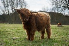Bestiame scozzese sveglio dell'altopiano che sta su un'erba Fotografia Stock