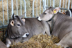 Bestiame in scuderia con foraggio Fotografia Stock Libera da Diritti