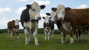 Bestiame sentito parlare Fotografia Stock Libera da Diritti